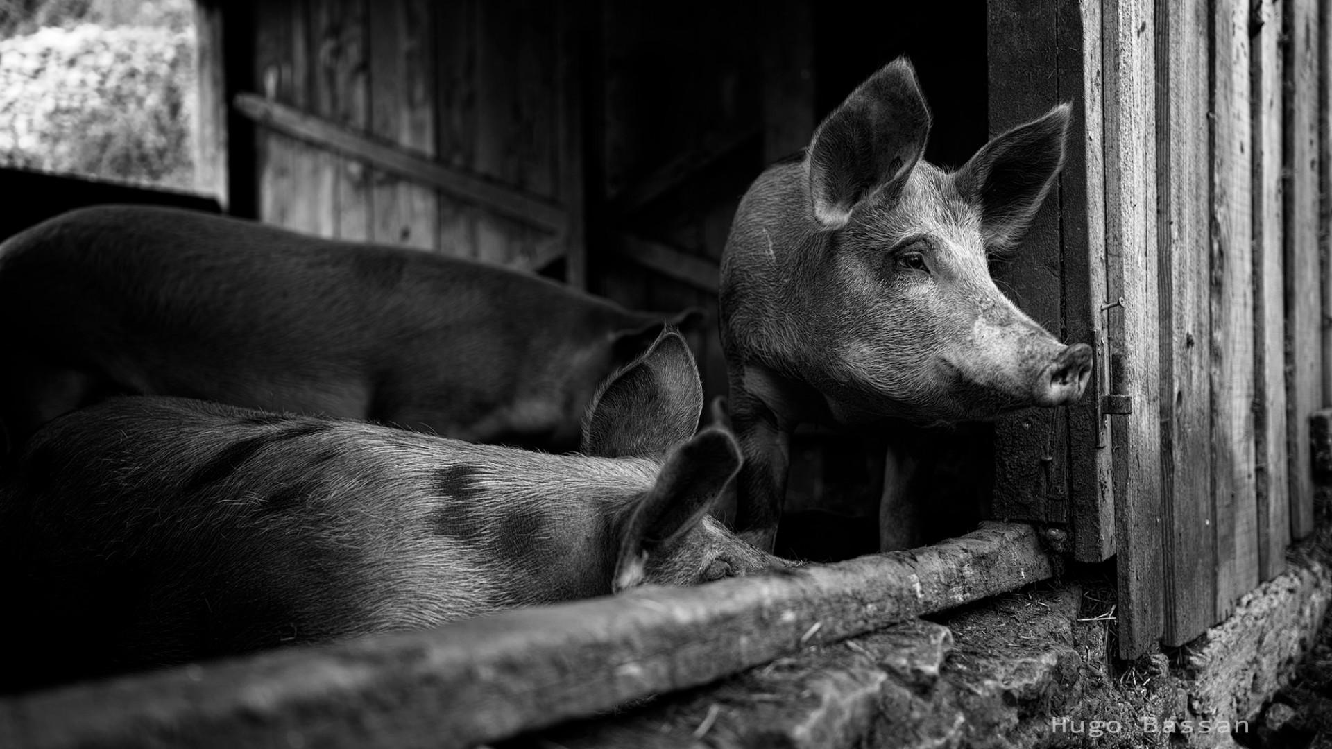 Cochons du Vieil Audon