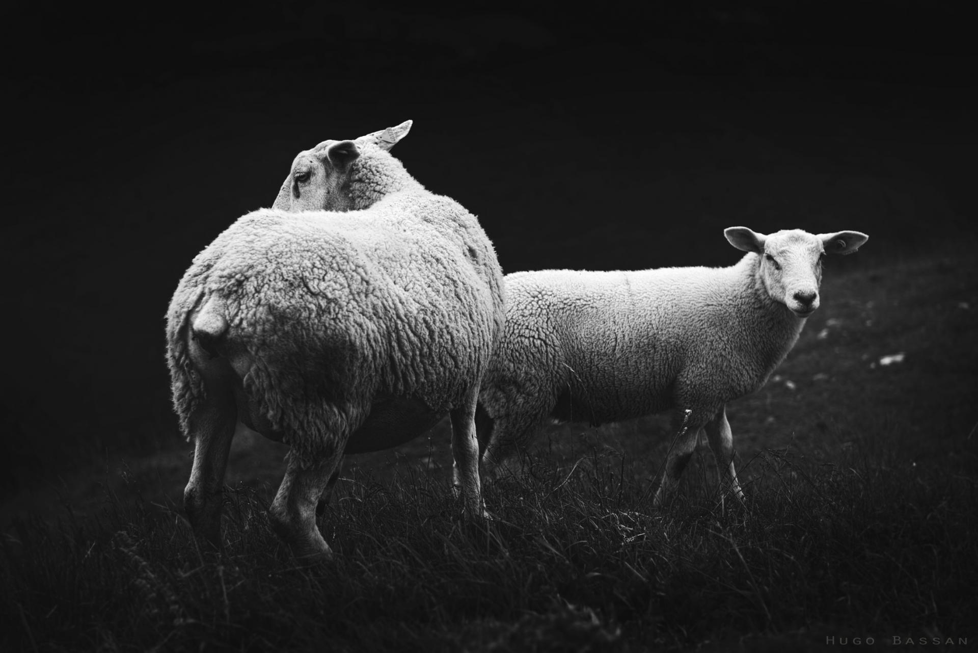 Moutons au sommet d'Hirmentaz -  Haute-Savoie
