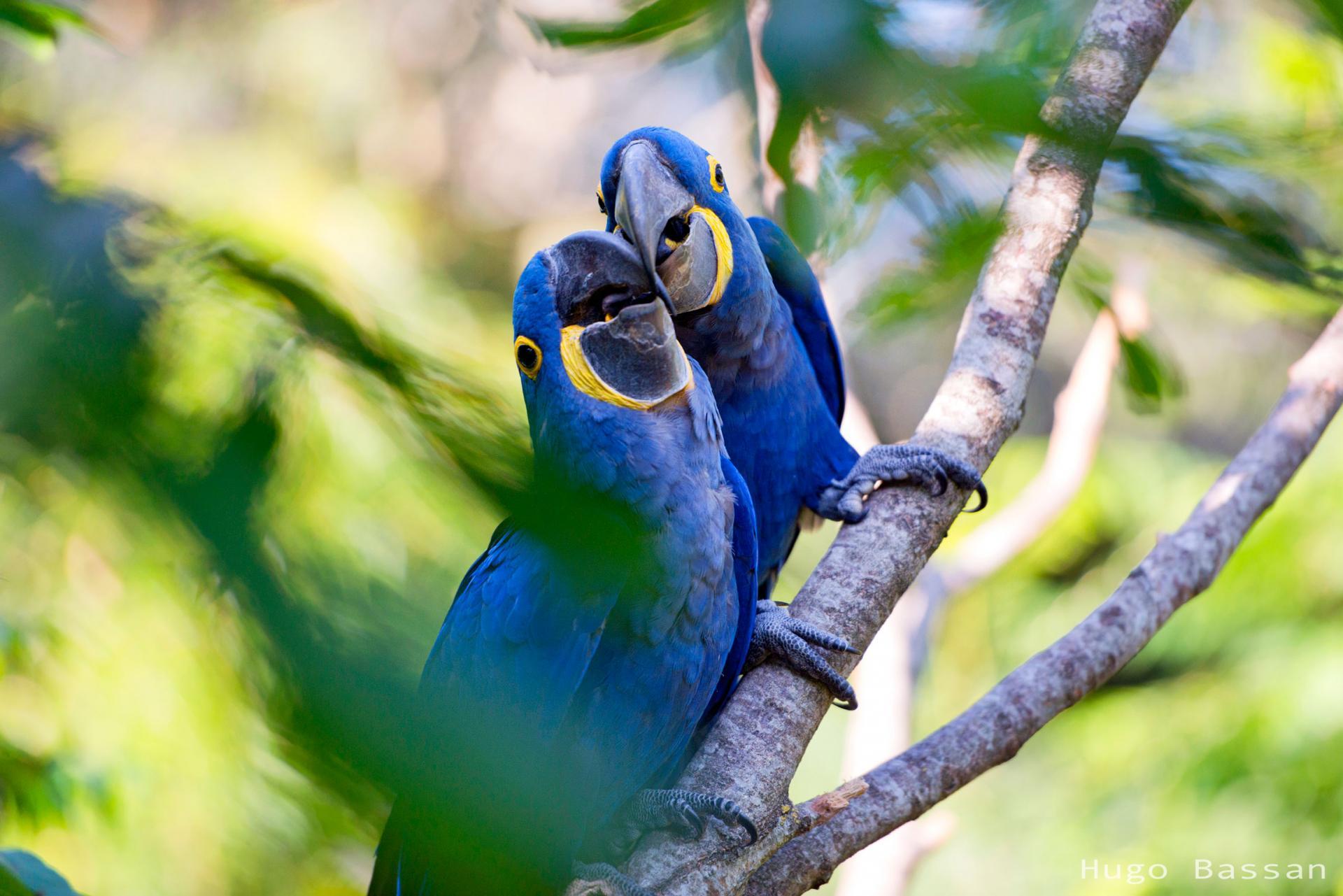 Aras bleu au parc des oiseaux