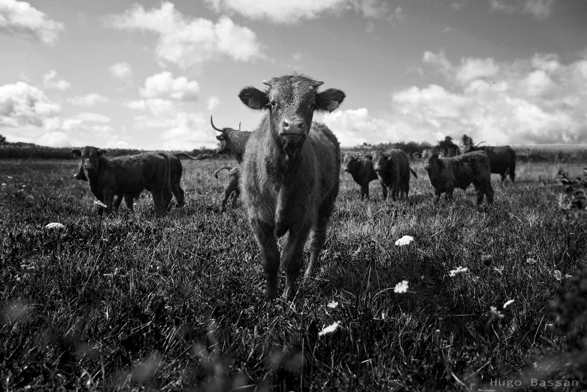 Calfs in the field