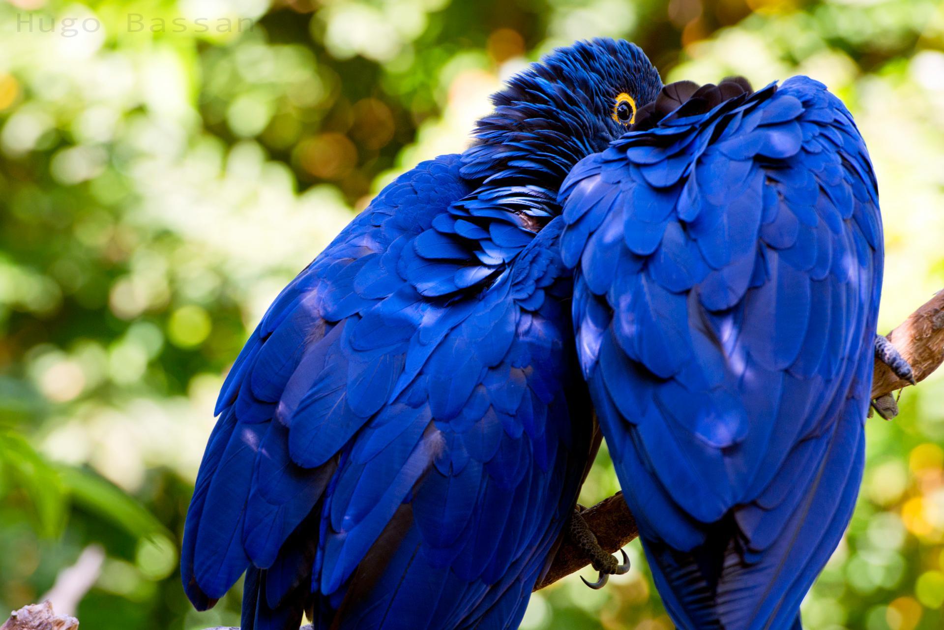 Blue Aras - Parc des Oiseaux