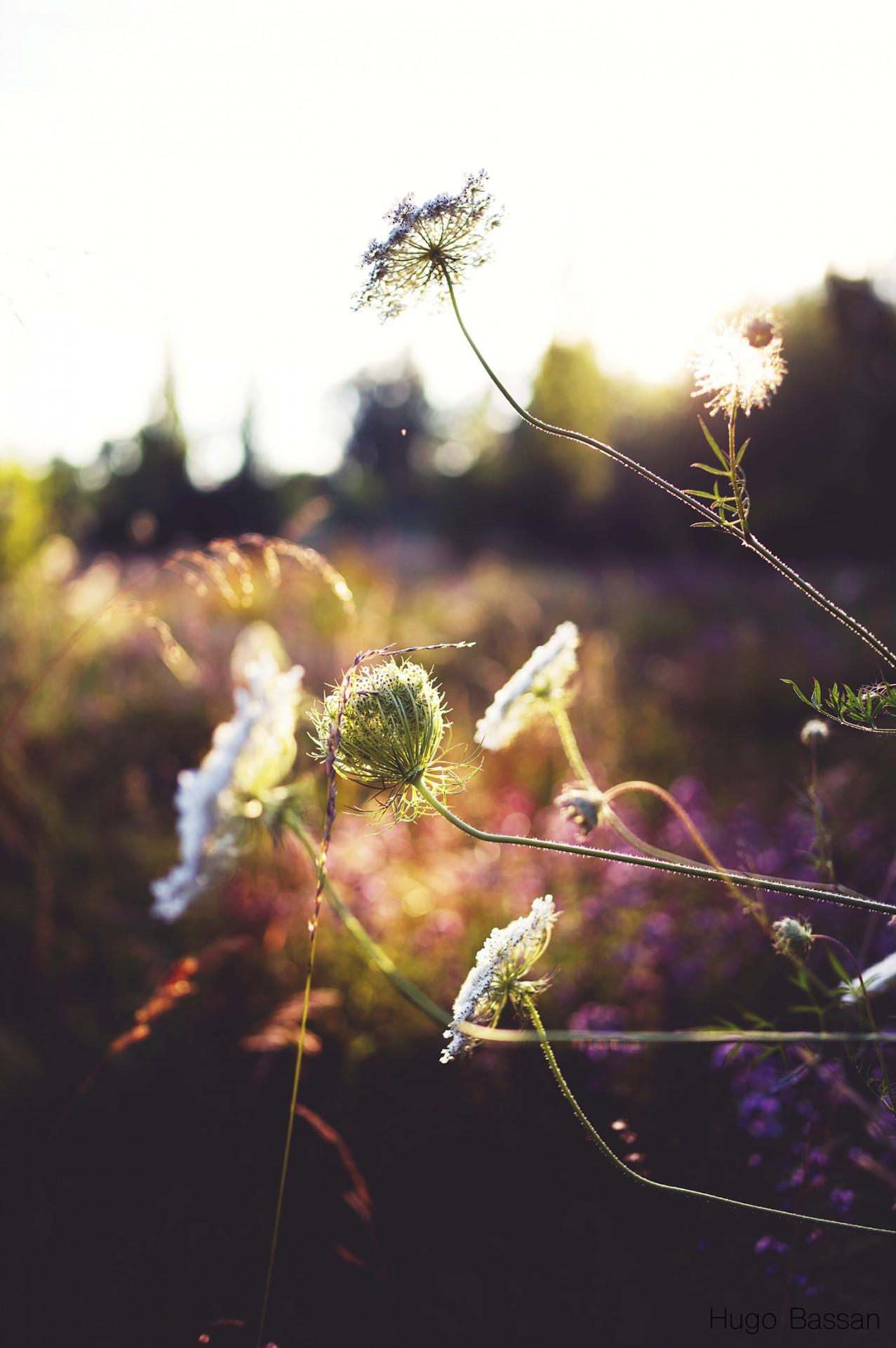 Heure dorée dans les herbes hautes