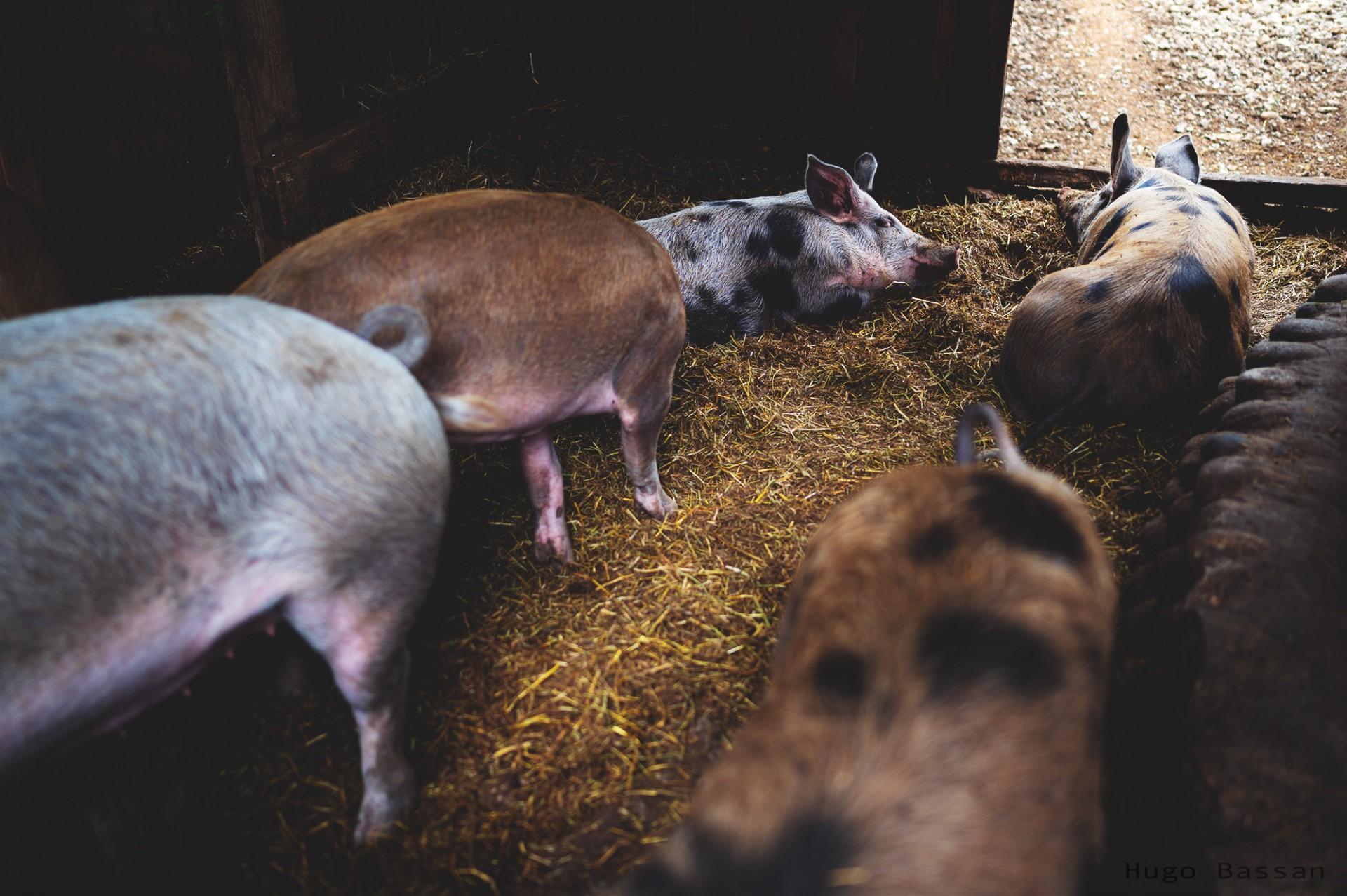 Le repos des cochons