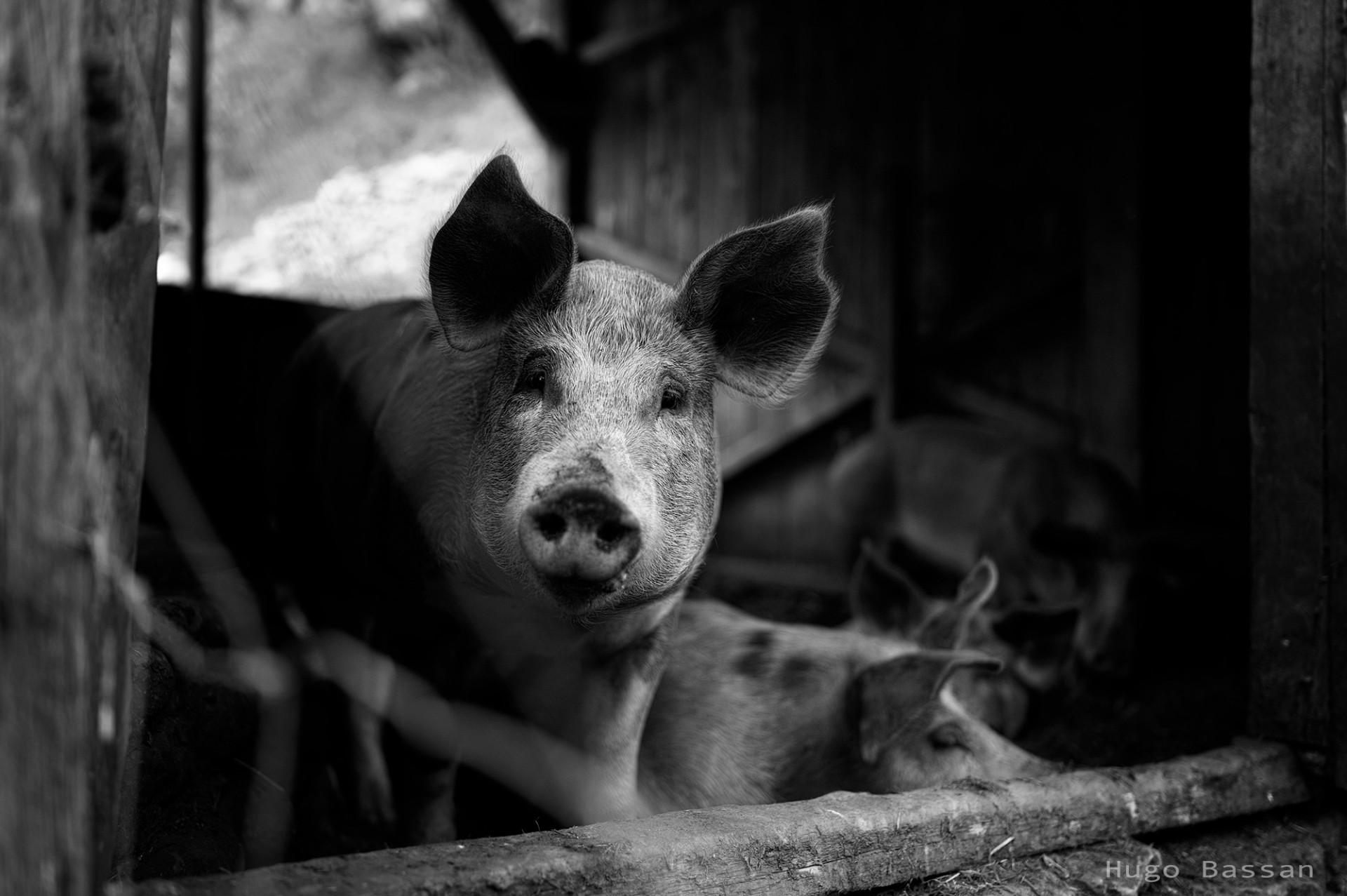 Cochons du Vieil Audon 2