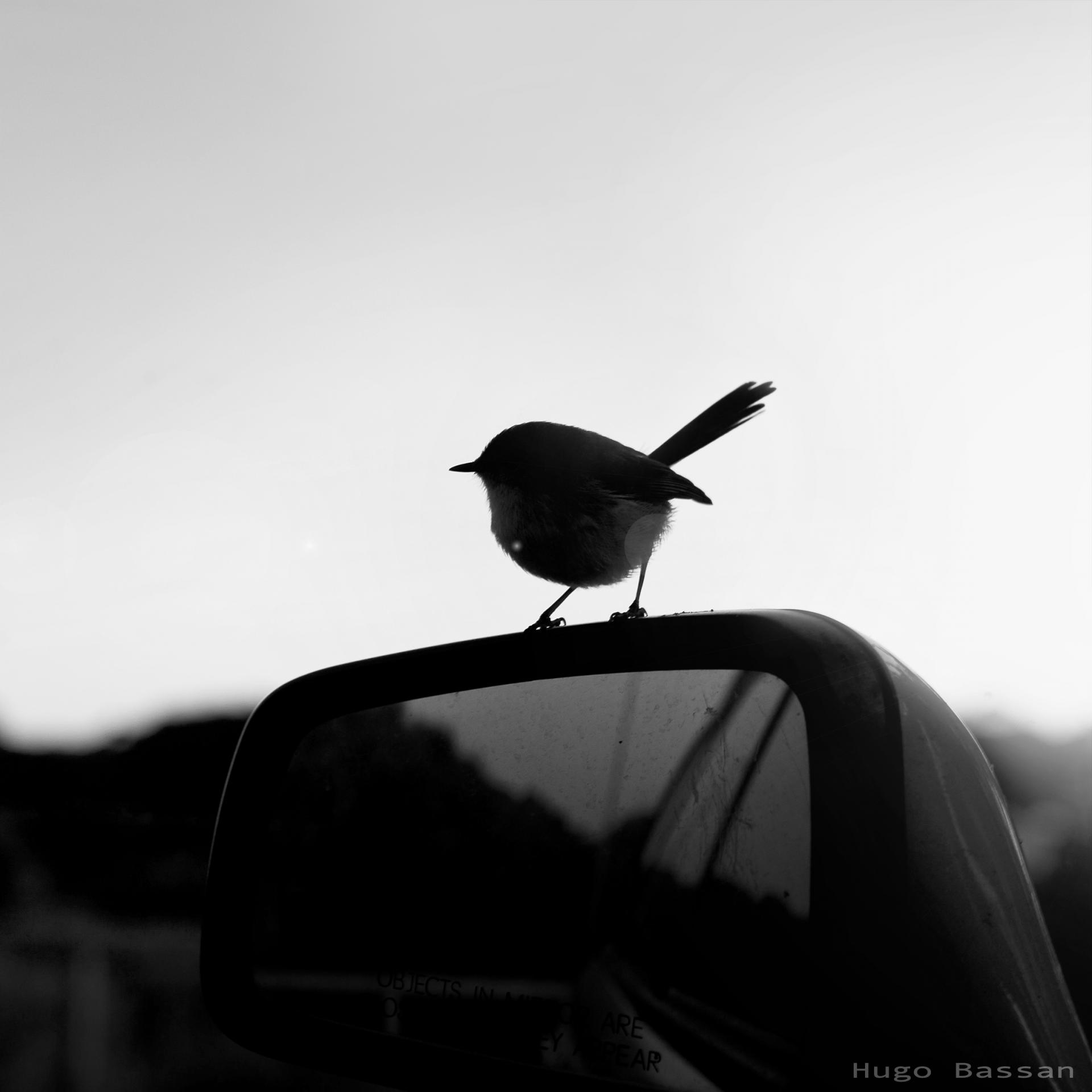 Black and white bird