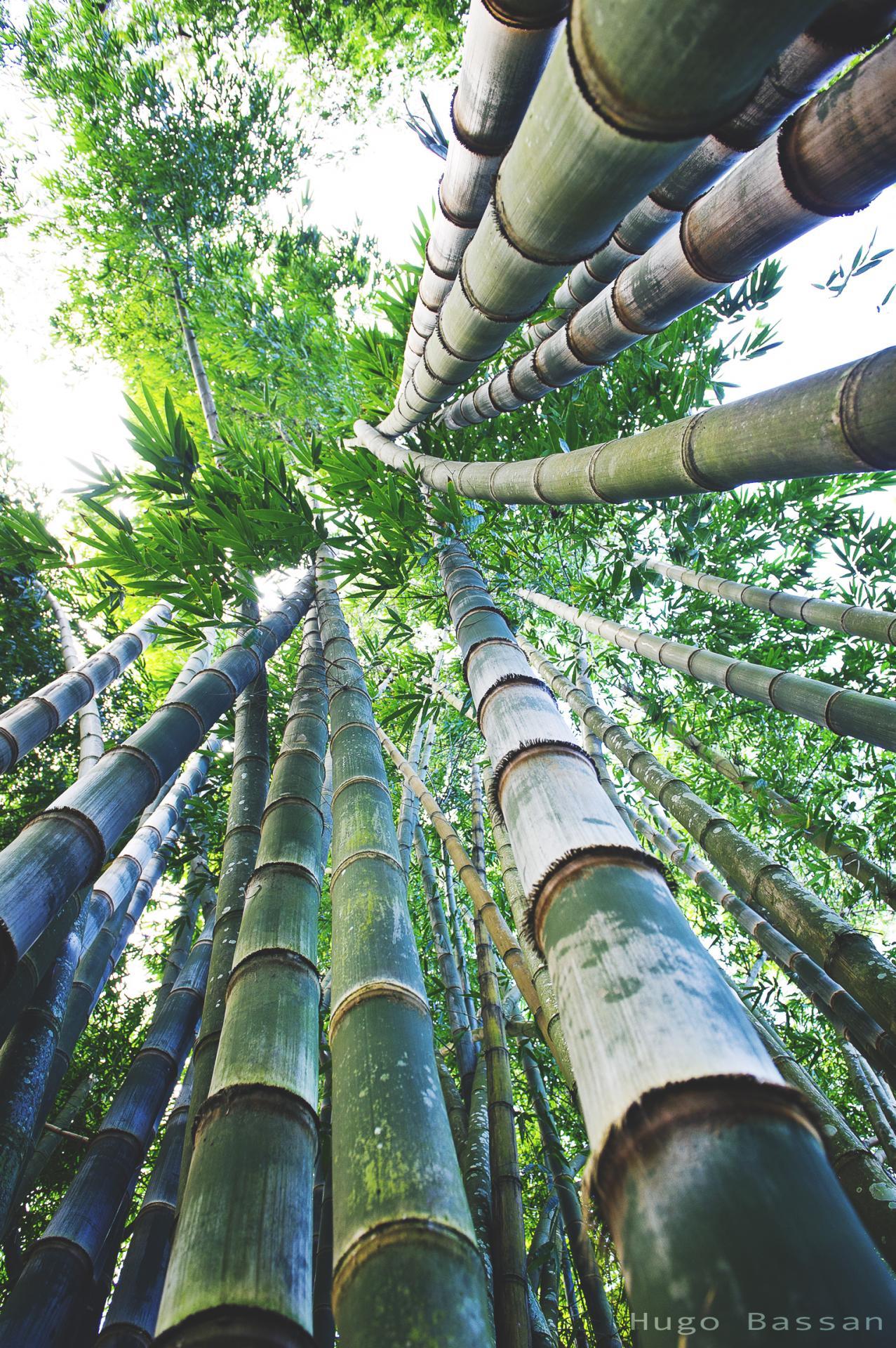 Bambous - Cairns, Australie