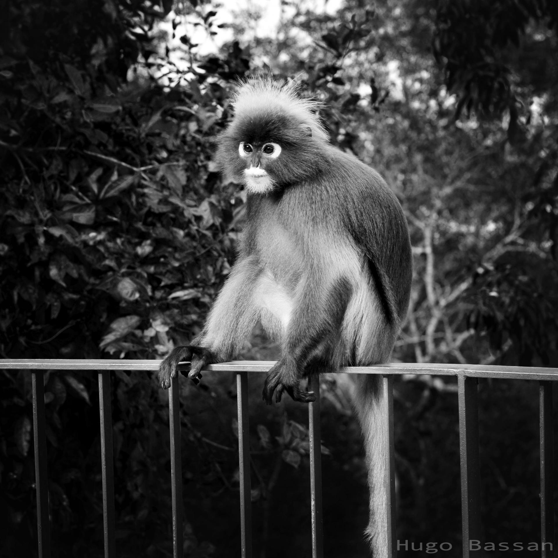 Monkey On Penang Hill