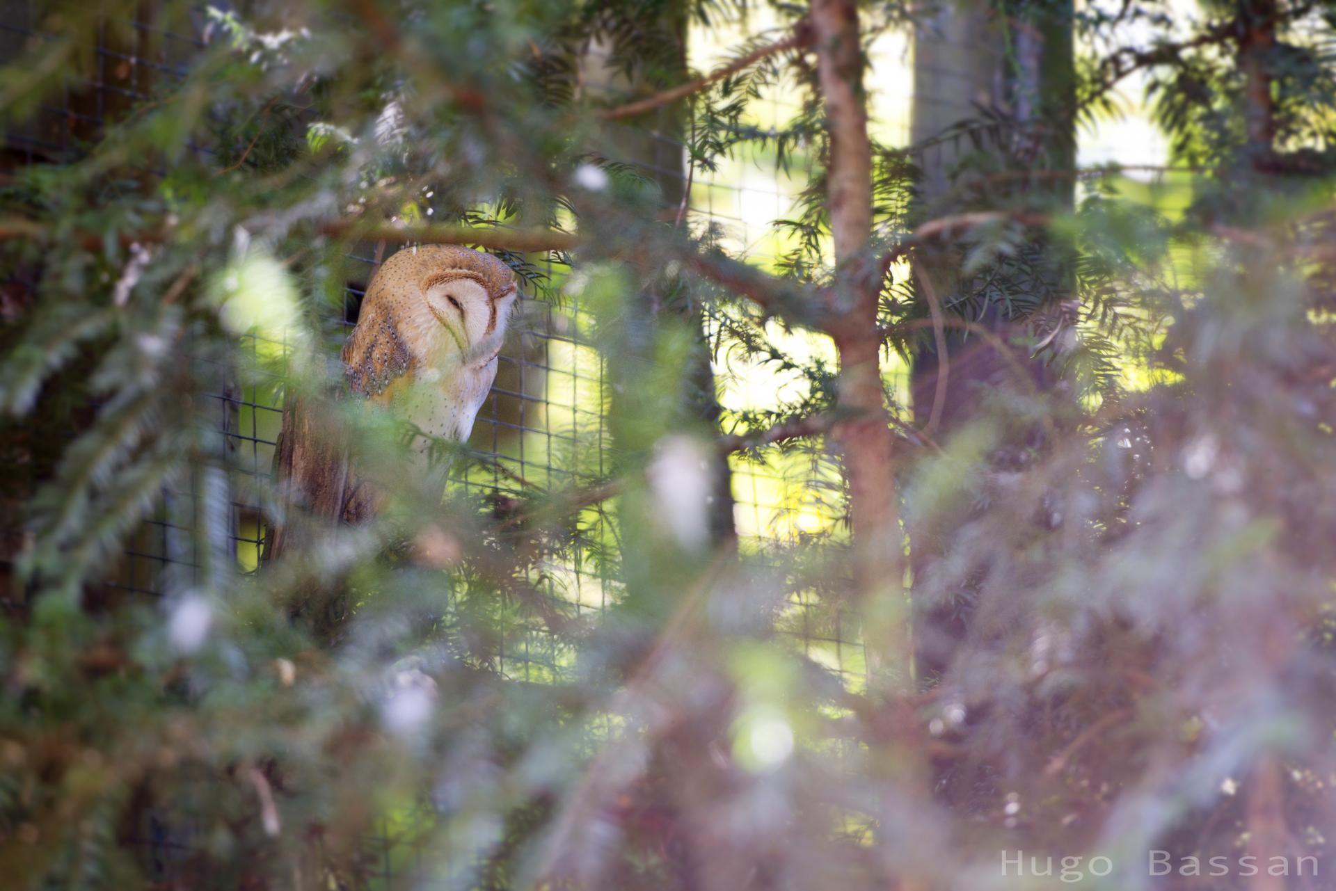 Effraie des clochers - Parc des oiseaux