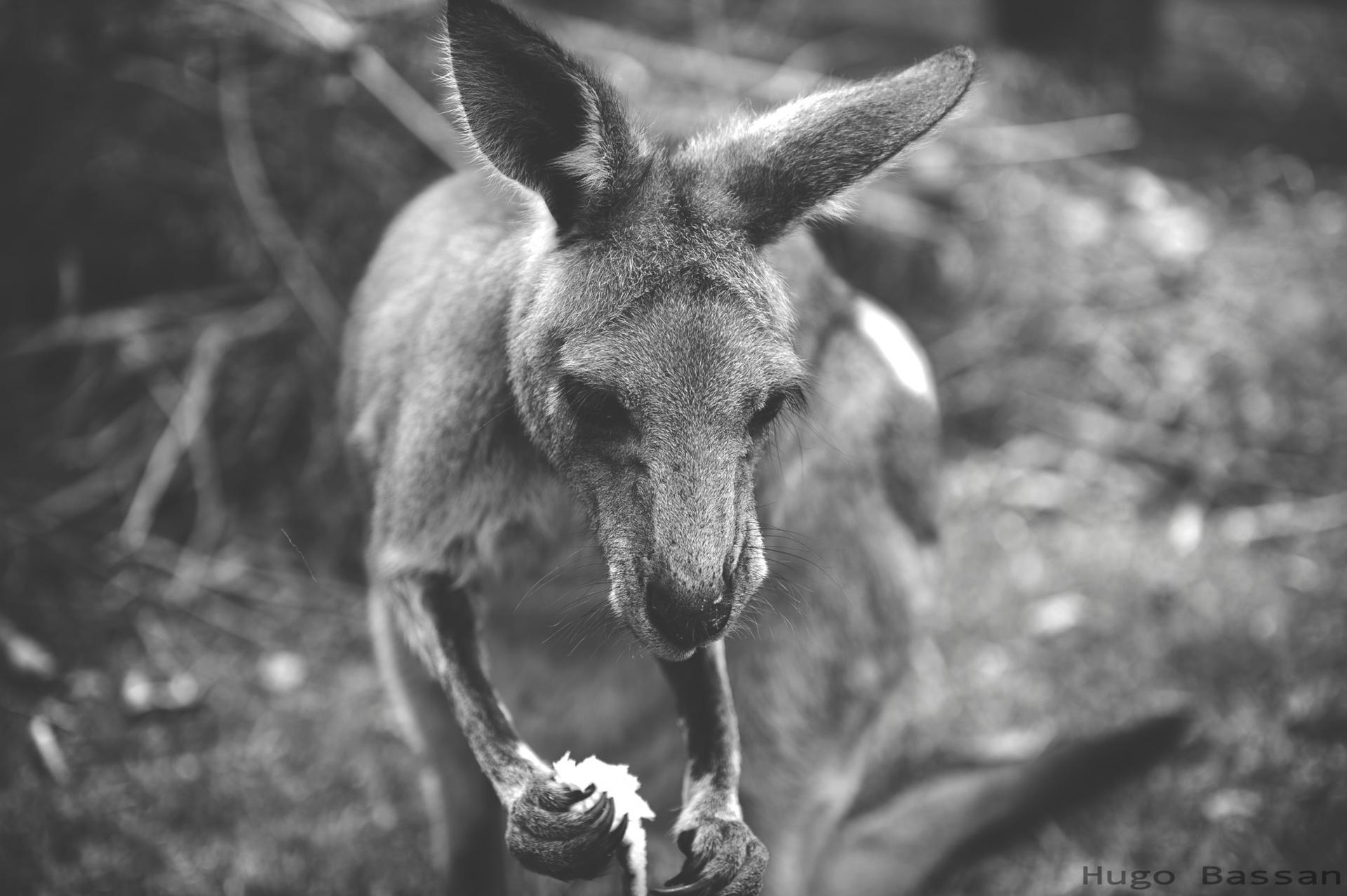 Première rencontre avec les kangourous