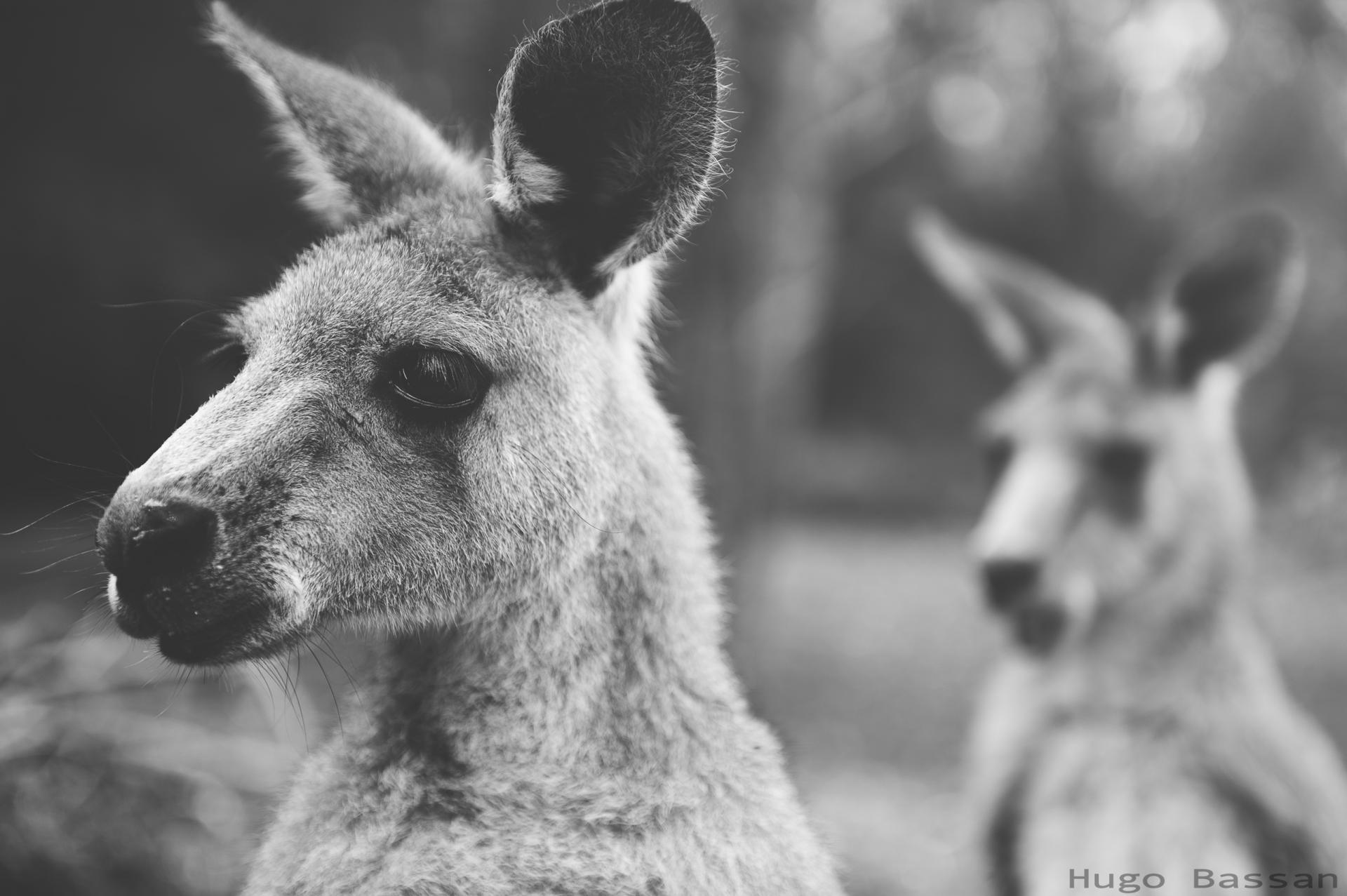 Duo de kangourous